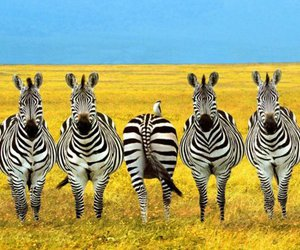 zebra, funny, and animal image