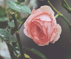 pink, rose, and beautiful image