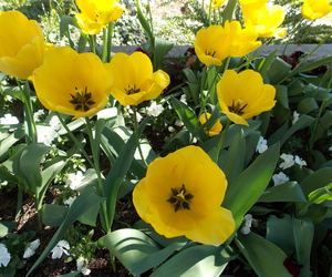 april, tulip, and yellow image