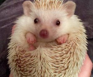 adorable, cuteness, and hedgehog image