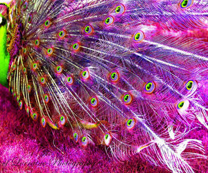 pink, green, and peacock image