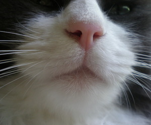 beautiful, cat, and nose image
