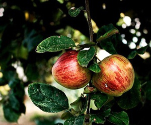 apple tree and orchard image