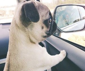 adorable, car, and pug image
