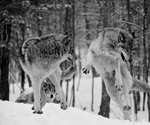 wolf, black and white, and snow image