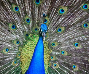 animal, peacock, and travel image