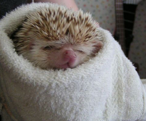 adorable, aww, and hedgehog image