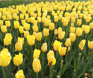 tulips, yellow, and flowers image