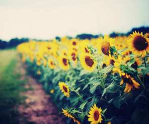 farm, flowers, and sunflower image