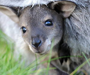 baby, kangaroo, and cute image