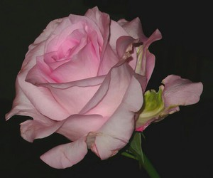 pale, pink, and rose image