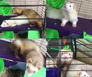 animals, aw, and ferret image