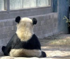 panda, zoo, and cute image