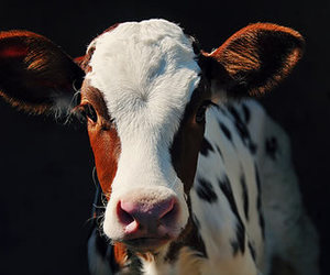 animal, country, and cow image