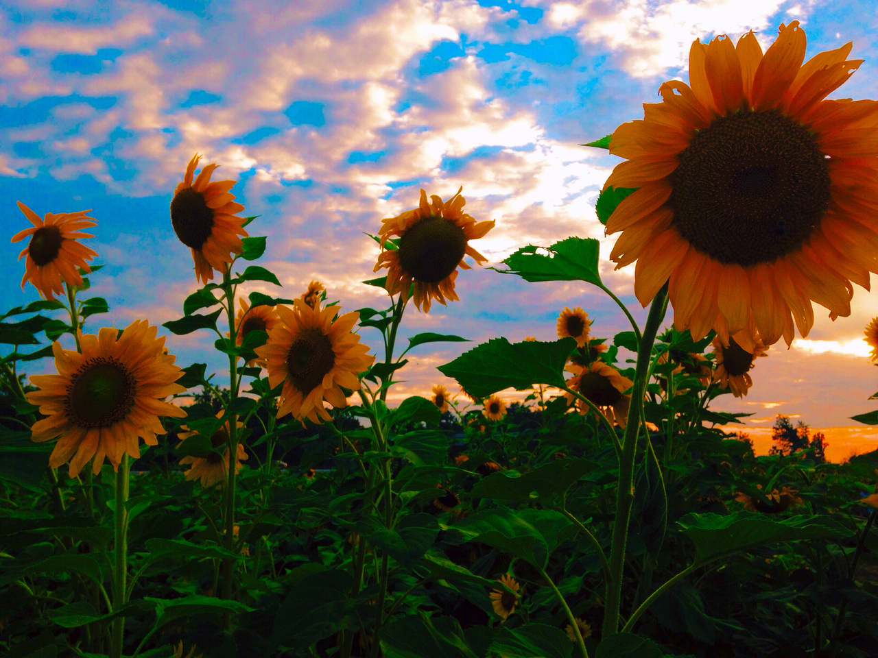 61 Images About Sunflowers On We Heart It