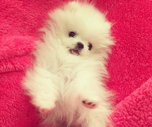 adorable, pomeranian, and puppy image