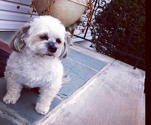 cutie, havanese, and dog image