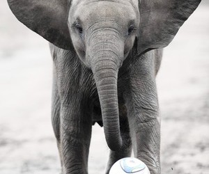 elephant, animal, and football image