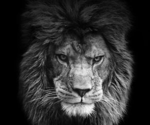 black, strong, and lion image