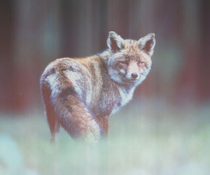 fox, animal, and photography image