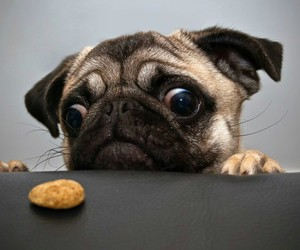 dog, pug, and cookie image
