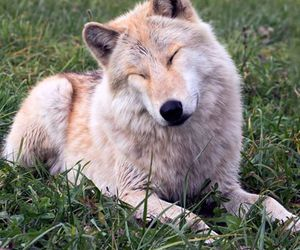 animal, cute, and wolf image