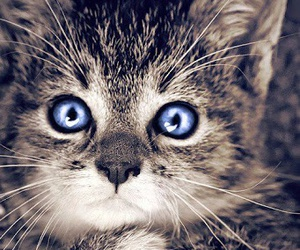 cute cat blue eyes image