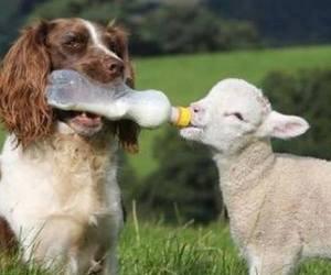 dog, animal, and lamb image
