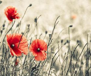 flowers, nature, and poppies image