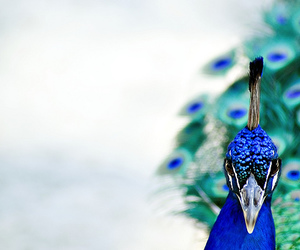 peacock, blue, and bird image