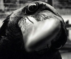 bird, black and white, and raven image
