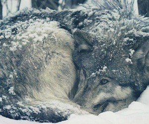 forest and wolf image