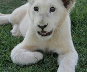 animal, beautiful, and lion image