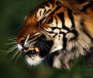 animal, tiger, and angry image
