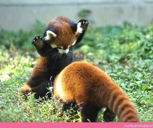 cute, Red panda, and animal image