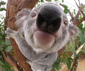 Koala, animal, and nose image