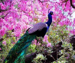 peacock, animals, and beautiful image