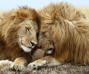 lions, love, and pride image