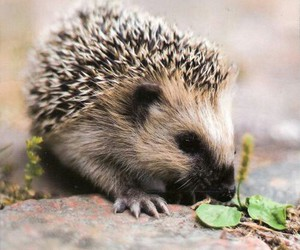 hedgehog, cute, and martinfreeman image