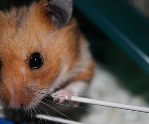 :3, hamster, and pet image