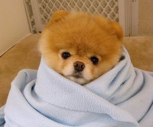 blanket, boo, and pomeranian image