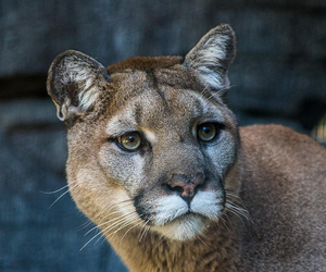 zoo, female moutain lion, and patrick storck image