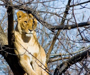 animal, lioness, and nature image