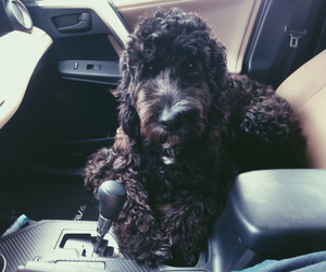 dog, puppy, and goldendoodle image