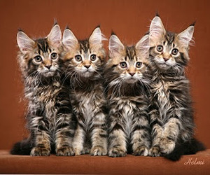 cats, love it, and maine coons image