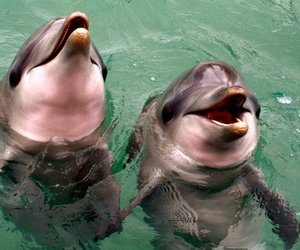 australia, dolphin, and dolphins image