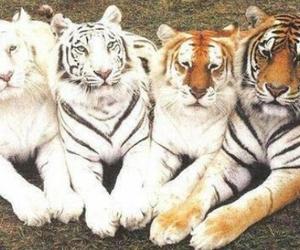 tigers, tiger, and animal image