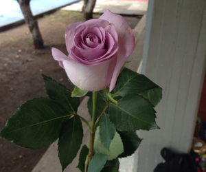 day, purple, and rose image