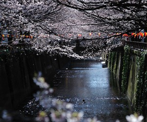 beautiful, cherry blossoms, and night image