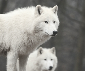 wolf, animals, and white image